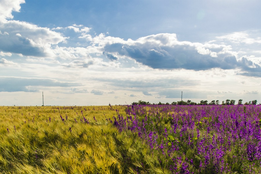 lavender-field-ukr-900X600